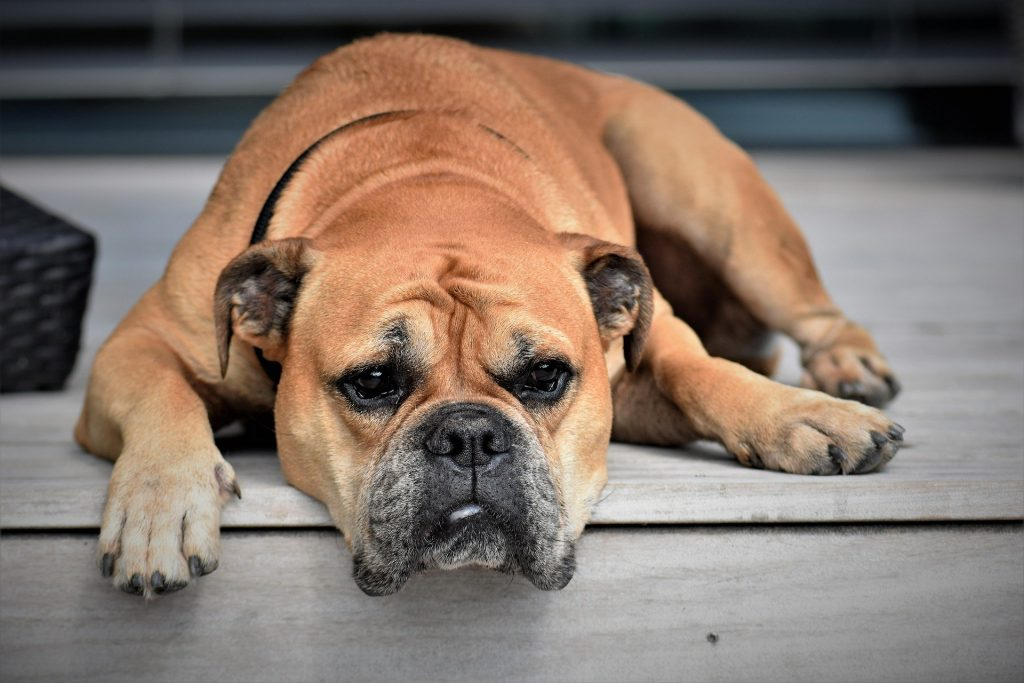 Chondroitin for Dogs: Why it's Effective?